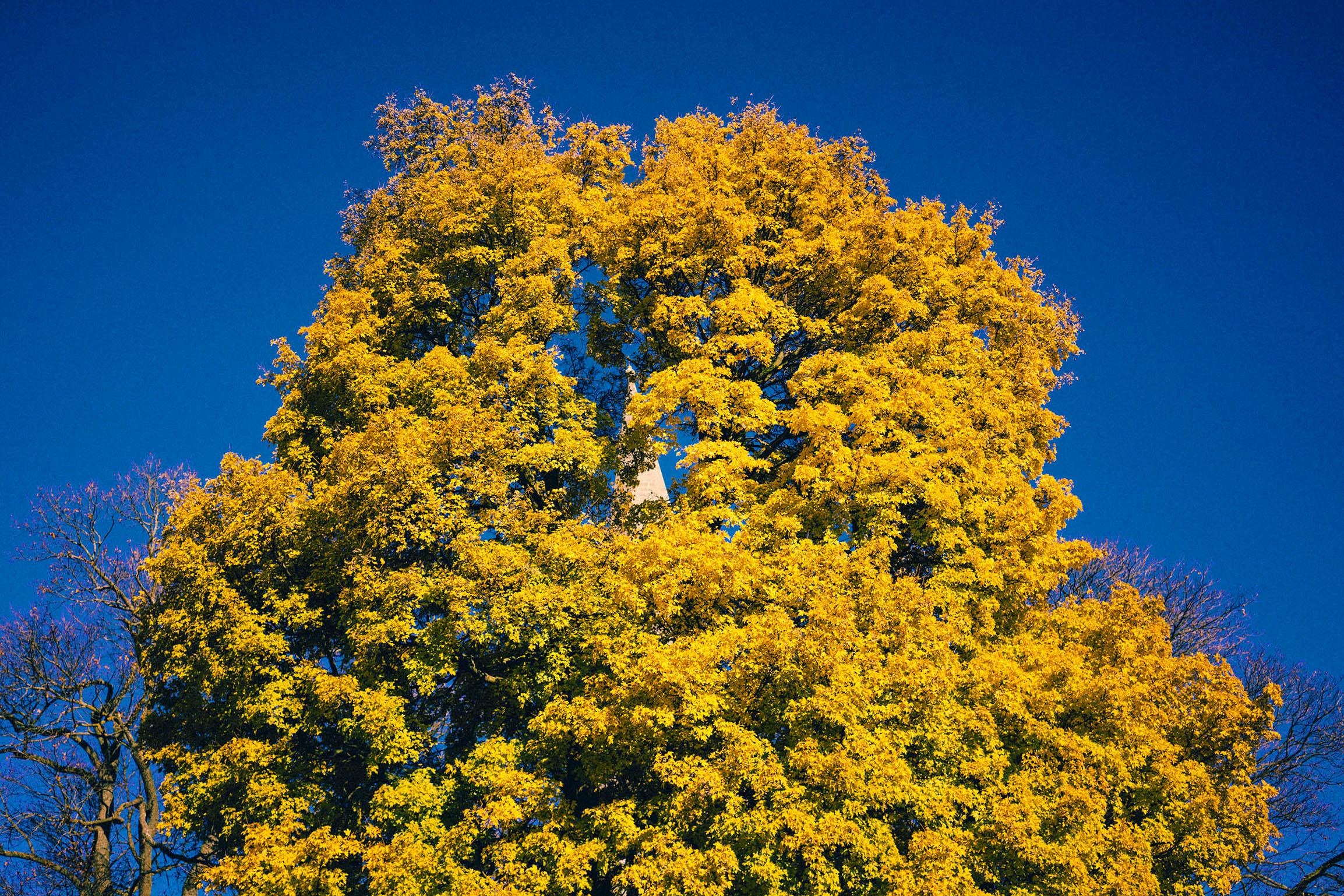 Fotografering fra Vålerenga park, Vakkert gult tre med blå himmel i bakgrunnen, kirketårn