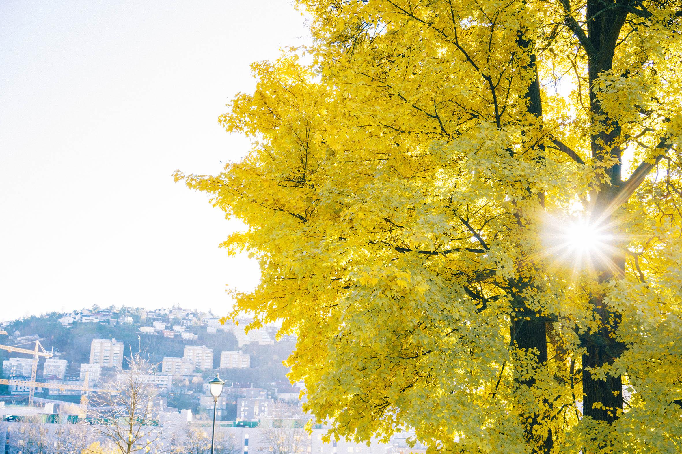 Gult tre og solen som skinner, gamle Oslo, fotografering fra Vålerenga park