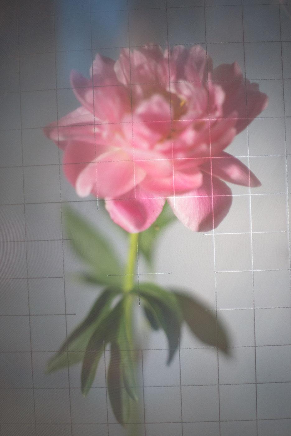 bilde av en rosa peonblomst