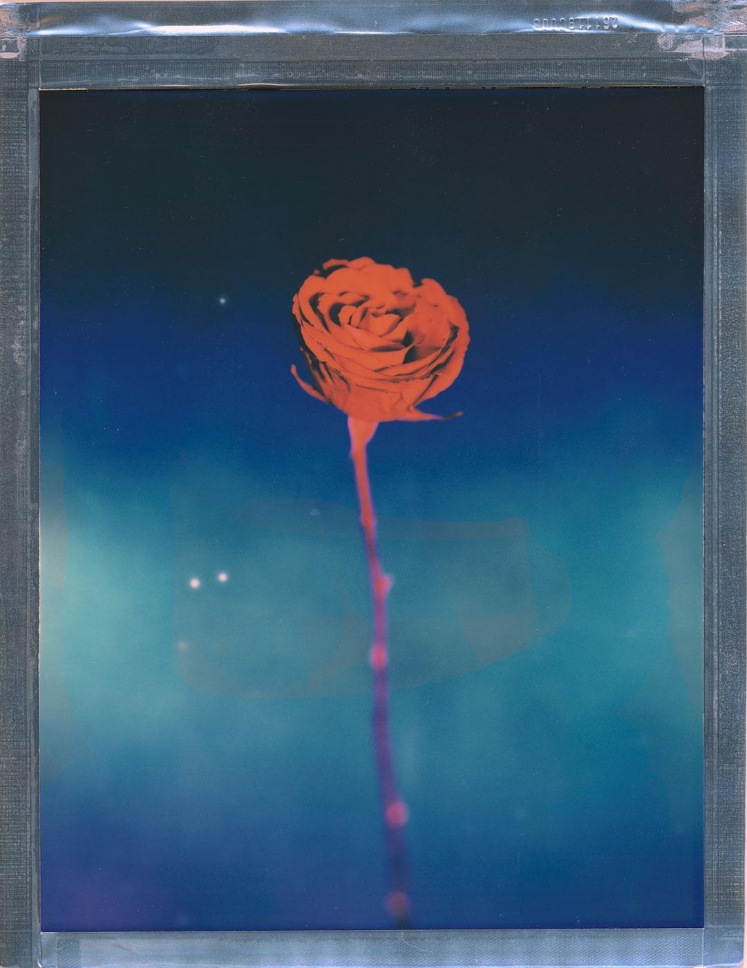 blått bilde av en rose fra en tørket brudebukett